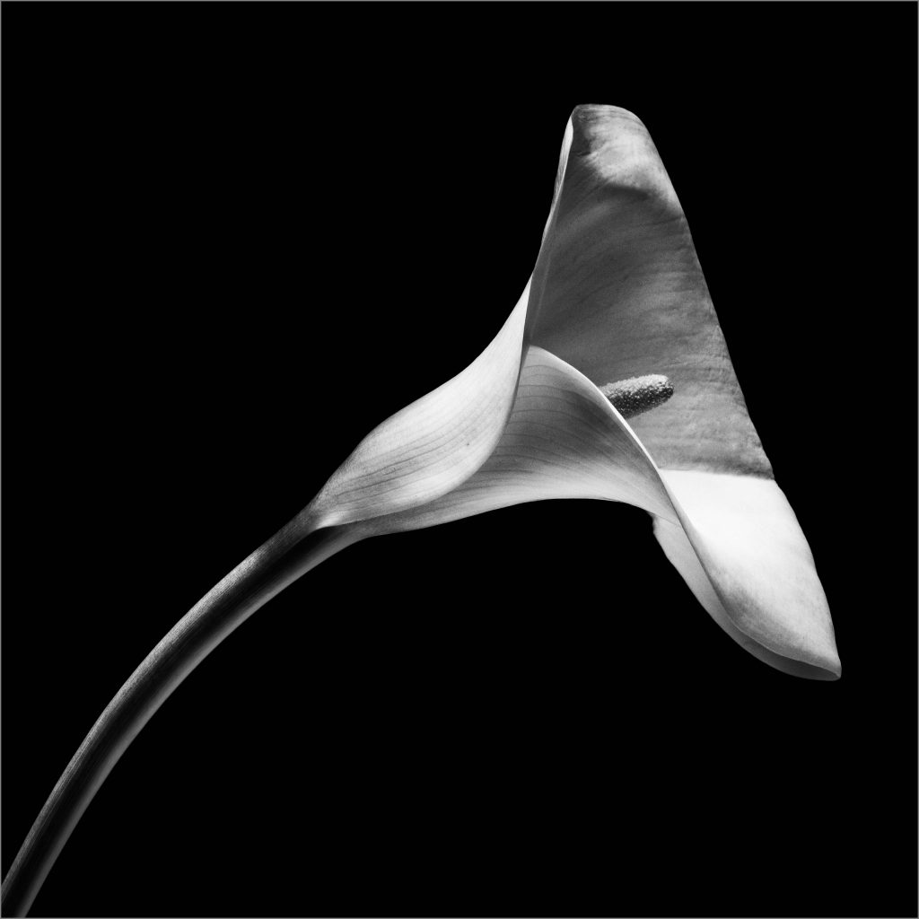 Robert Mapplethorpe, Calla Lily, 1984. © The Robert Mapplethorpe Foundation.